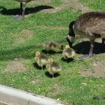 Geese and its chicks