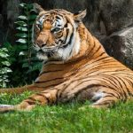 Tiger at Bronx Zoo believed to be first animal in U.S., first tiger, to test positive for COVID-19!